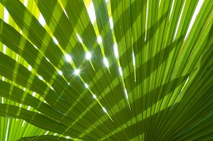 Carnauba Palm Leaf